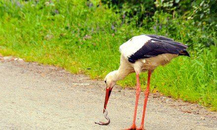 Crane birds in the Ukrainian tradition